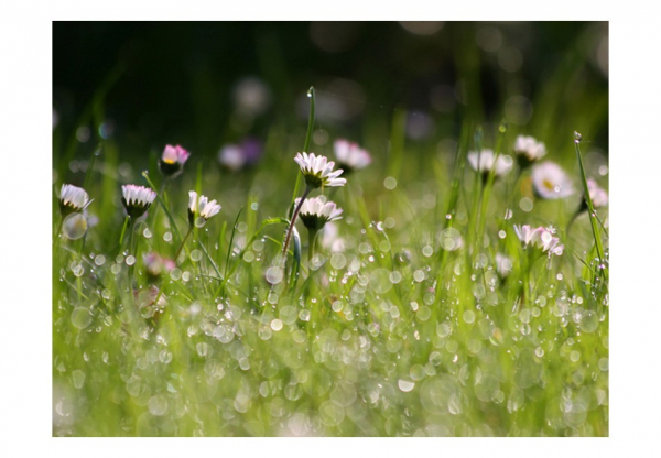 Fototapet - Daisies with morning dew [3]