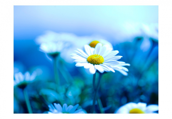 Fototapet - Daisy on a blue meadow 3