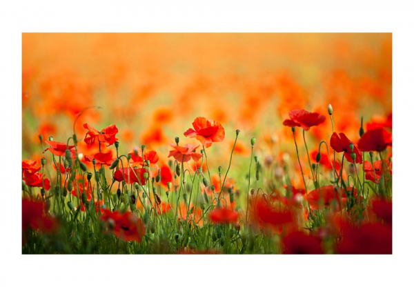 Fototapet - Poppies in shiny summer day 3