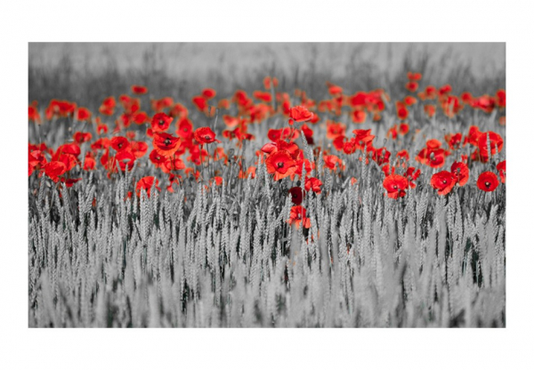 Fototapet - Red poppies on black and white background 3