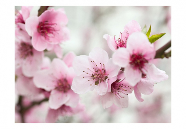 Fototapet - Spring, blooming tree - pink flowers 3