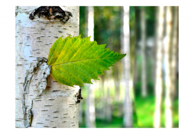 Fototapet - Birch leaf3