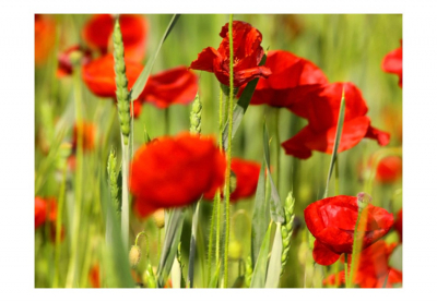 Fototapet - Cereal field with poppies3