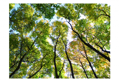 Fototapet - Looking up at the trees3