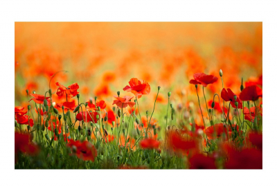 Fototapet - Poppies in shiny summer day3