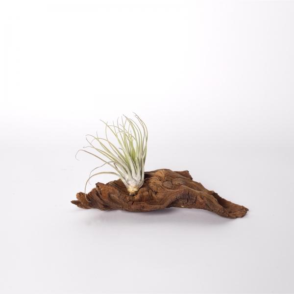 Mangrova + planta aeriana 1