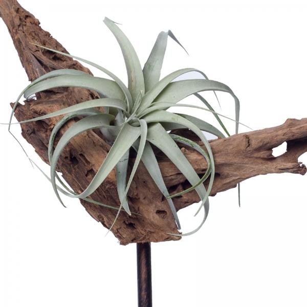 Decoratiune-interior-lemn-de-mangrova-tillandsia-xerographica-planta-aeriana-fier-patina-bronz 0