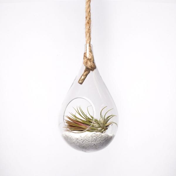 terariu-lacrima-sticla-planta-aeriana 0