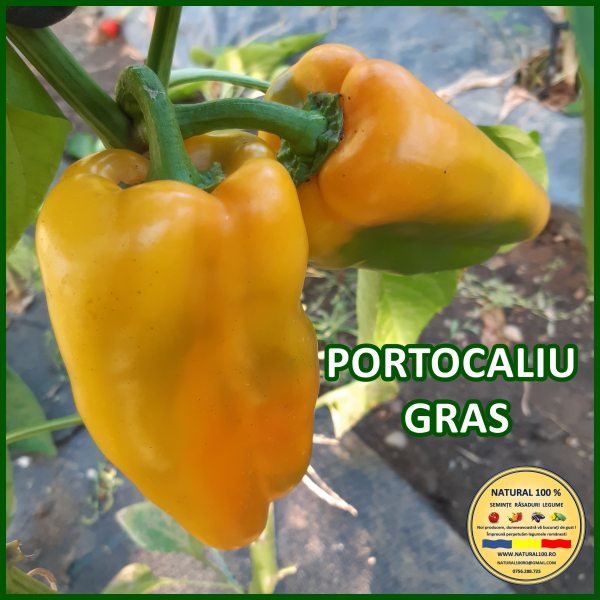 PORTOCALIU GRAS [0]