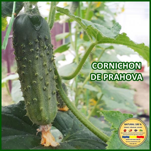 CORNICHON DE PRAHOVA [0]
