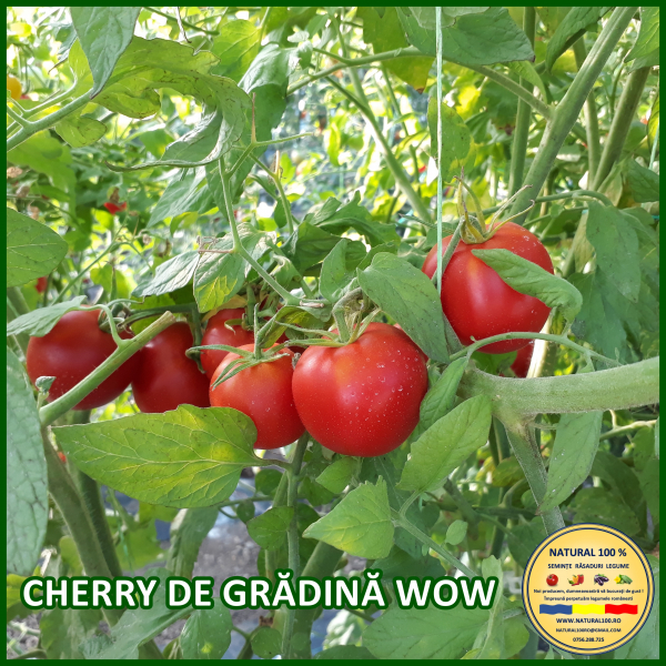 CHERRY DE GRĂDINA WOW [0]