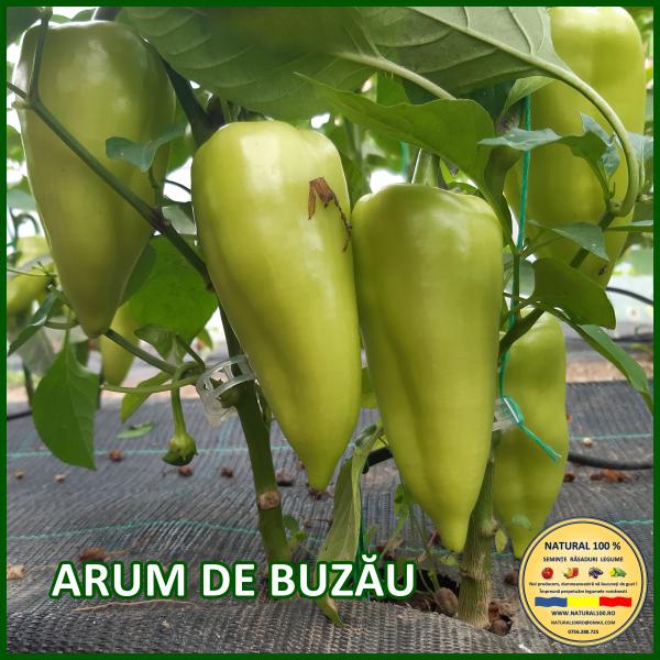 ARUM DE BUZĂU 0