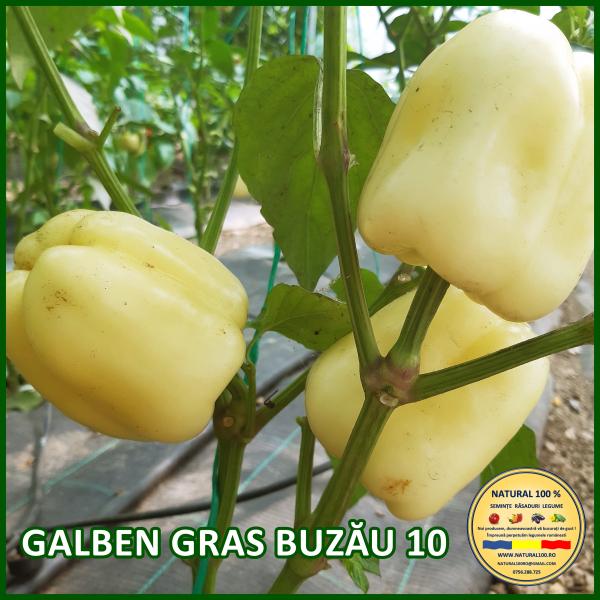GALBEN GRAS BUZĂU 10 [0]