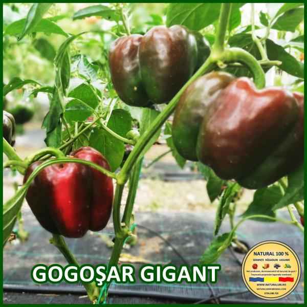 GOGOȘAR GIGANT 0
