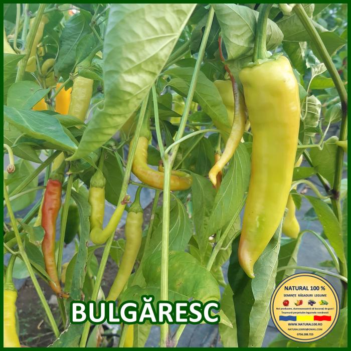 Răsad ardei BULGĂRESC A020 mai.2021 [0]