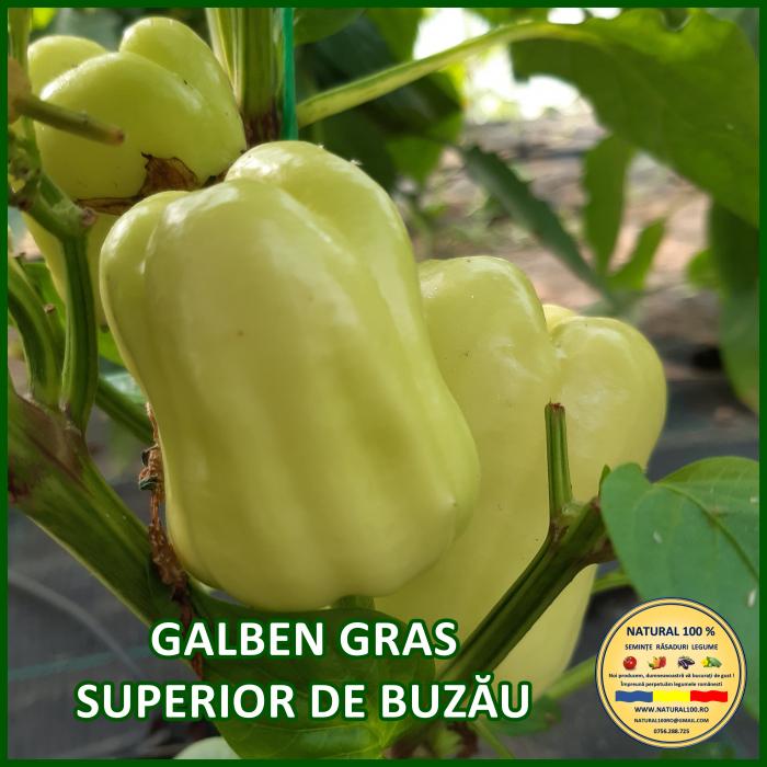 Răsad ardei GALBEN GRAS SUPERIOR DE BUZĂU A013 mai.2021 0