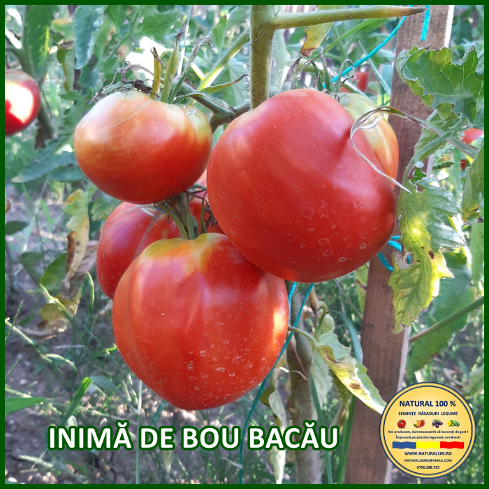 Rasad rosii INIMA DE BOU BACAU R057 aprilie.2021 [0]