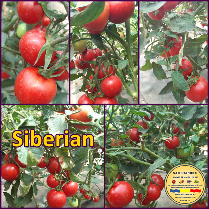 Rasad rosii SIBERIAN R016 mai.2021 [1]
