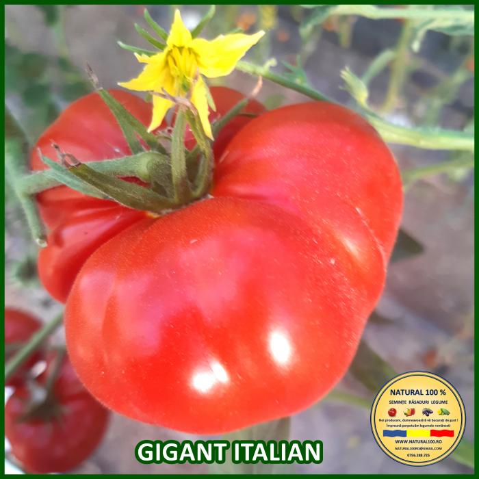Rasad rosii GIGANT ITALIAN R038 mai.2021 0