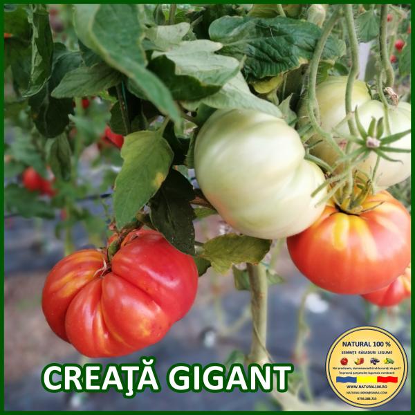 Seminte rosii creata gigant [0]