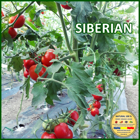 Rasad rosii SIBERIAN R016 mai.2021 [0]