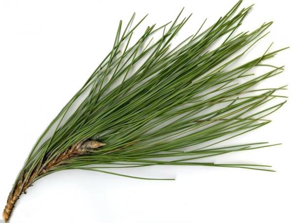 Ulei Esential Pine 15ml [1]