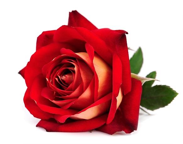 Ulei Esential Rose Oil Centifolia 5ml [1]