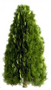 Ulei Esential Thuja Wood 15ml [1]