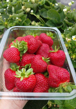 Căpșuni BIO1