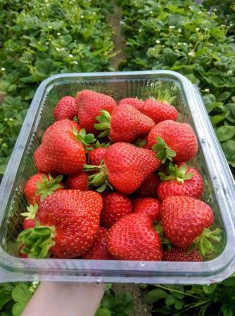 Căpșuni BIO2