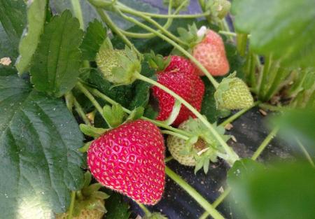 Căpșuni BIO3