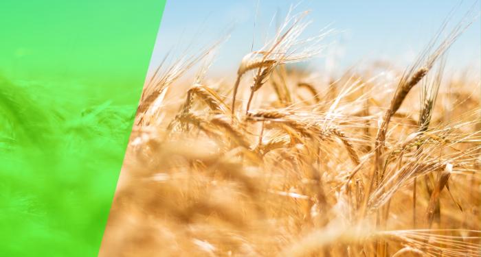 Semințe de grâu IZVOR C1 tratate [0]