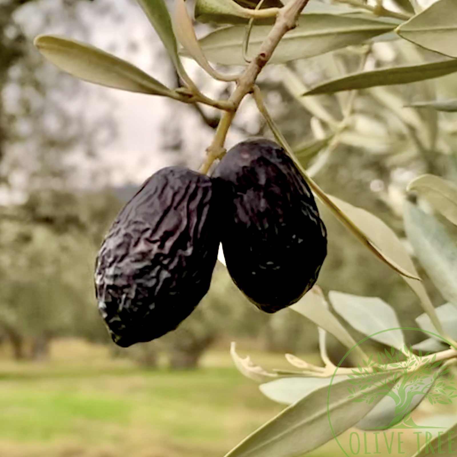 Măslinele verzi sau negre? Care e diferența și ce mâncăm de fapt!
