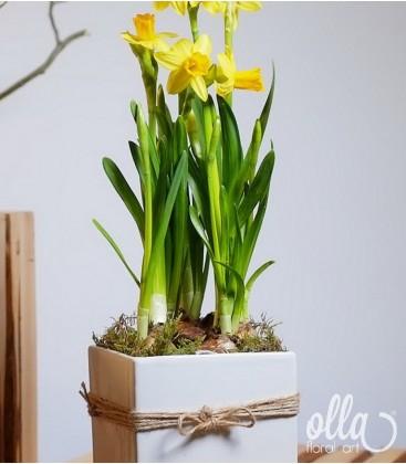 Aranjament floral primavara cu bulbi narcisa in vas ceramic 1