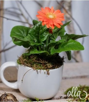 Aranjament cadou planta gerbera in ceasca ceramica 2