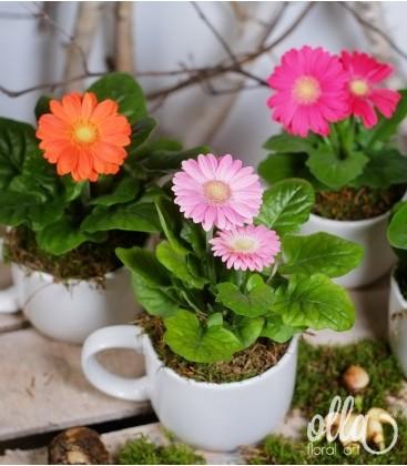 Aranjament cadou planta gerbera in ceasca ceramica 1