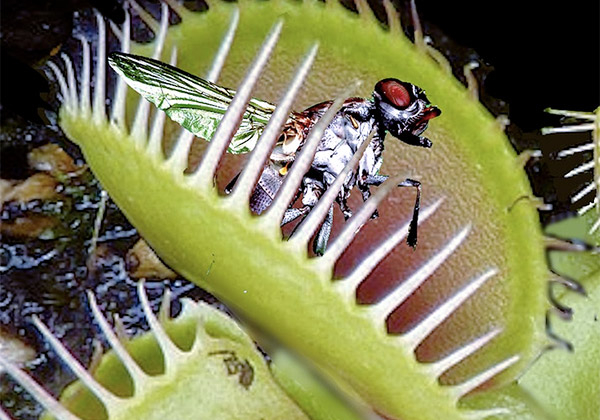 Seminte planta carnivora - Kit Venus Fly Trap 4