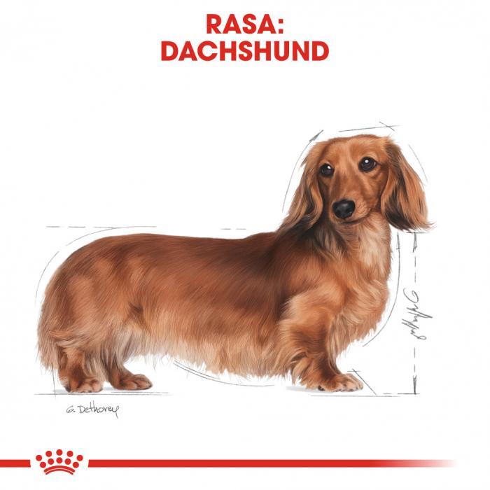 Royal Canin DACHSHUND Adult Hrana Uscata Caine 1