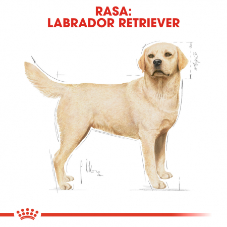 Royal Canin LABRADOR RETRIEVER Adult Hrana Uscata Caine1