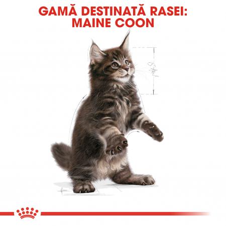 Royal Canin MAINE COON Kitten Hrana Uscata Pisica4