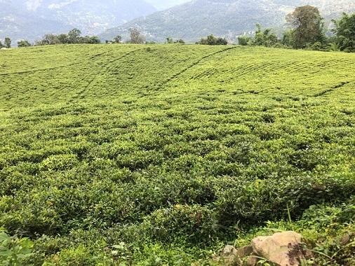 ceai-verde-himalayan [1]