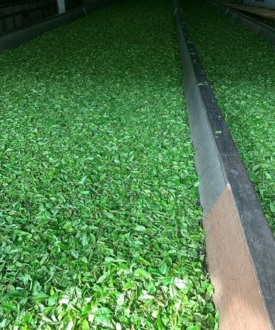 ceai-verde-himalayan [2]