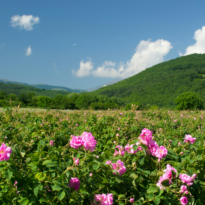 rosa-2-attar-trandafir-santal.png [4]