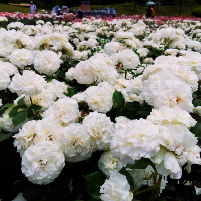 Trandafir Alb Pur - 1ml - Ulei Esențial [1]
