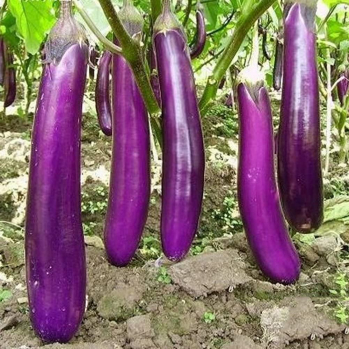 "SEMINTE ECOLOGICE DE VINETE ""ITALIAN LONG PURPLE "" 0"