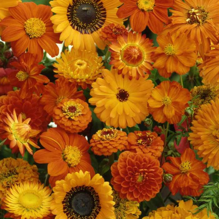 """SEMINTE DE FLORI PORTOCALII """"FLOWER DREAMS MIX"""" [0]"""
