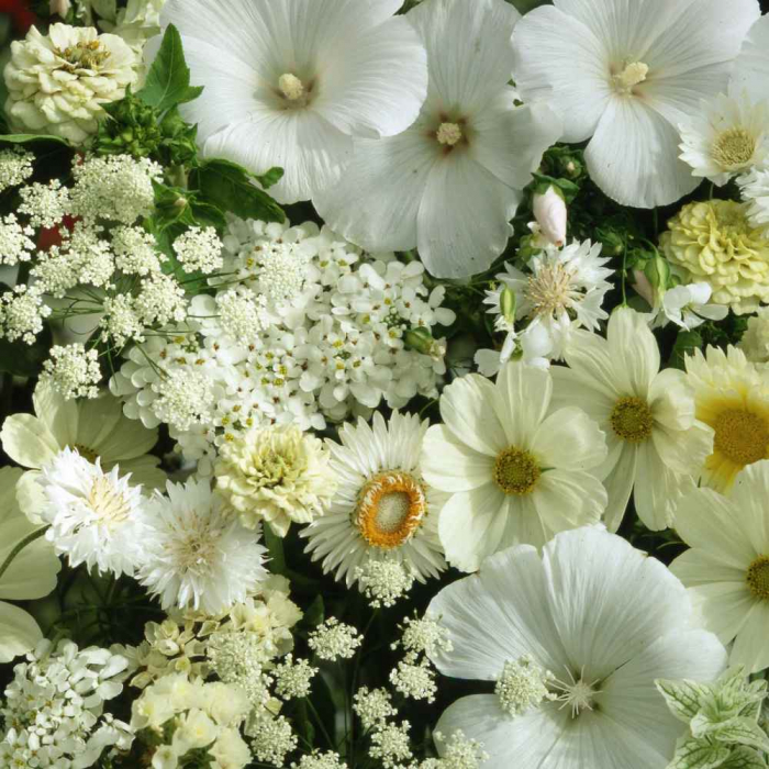 "SEMINTE DE FLORI ALBE ""FLOWER DREAMS MIX"" [0]"
