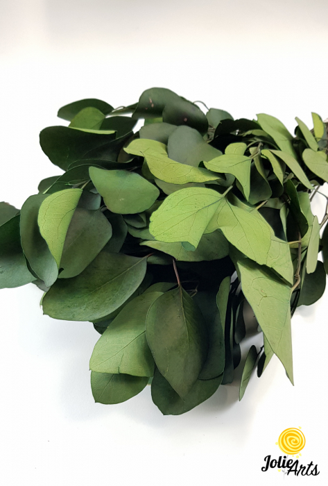 Eucalipt Populus Verde, natural conservat, frunza rotunda [1]