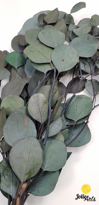 Eucalipt Populus, natural conservat [1]