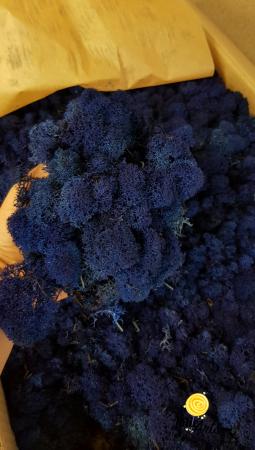 Licheni decorativi naturali stabilizati, calitate premium, culoare Albastru intens / Royal Blue [1]